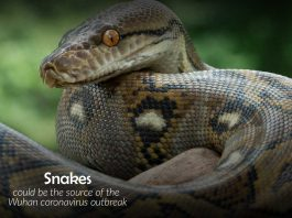 Snakes might be the origion of Coronavirus outbreak in Wuhan city